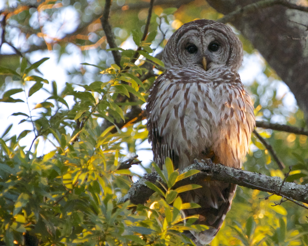 The setting sun illuminates the Barred Owl on its perch.