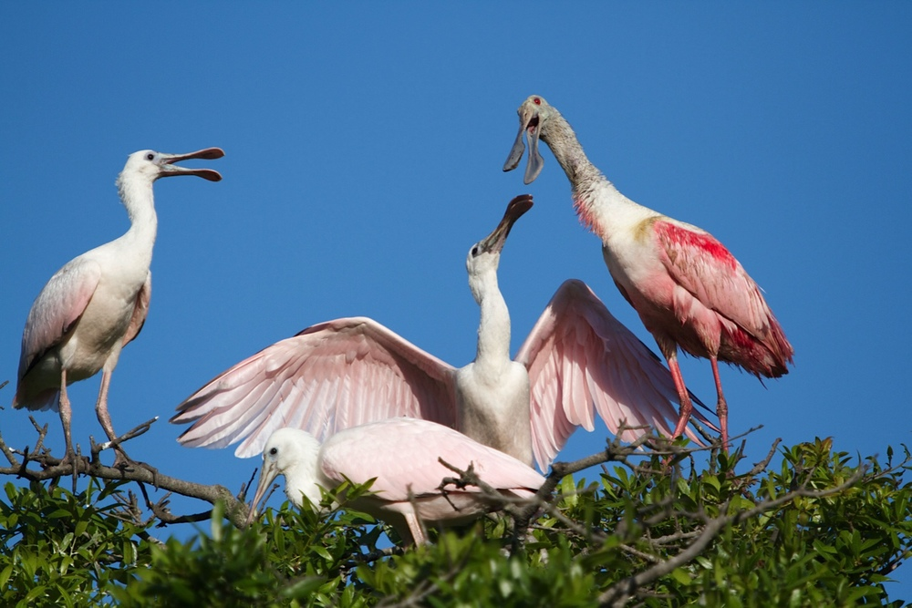 Family portrait time Roseatte Spoonbills.