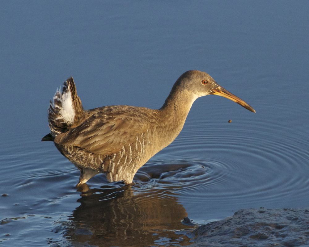 A pair of Clapper Rails make a rare appearance!