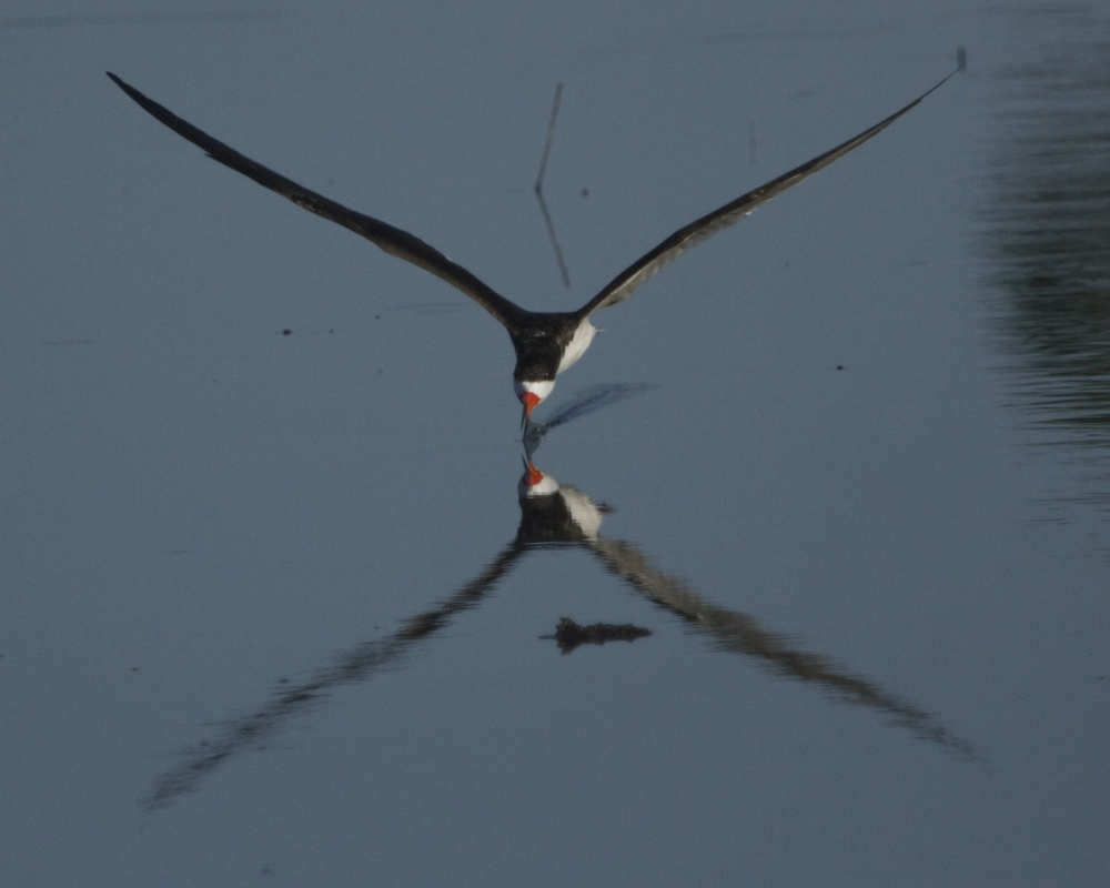 A Black Skimmer swoops by.