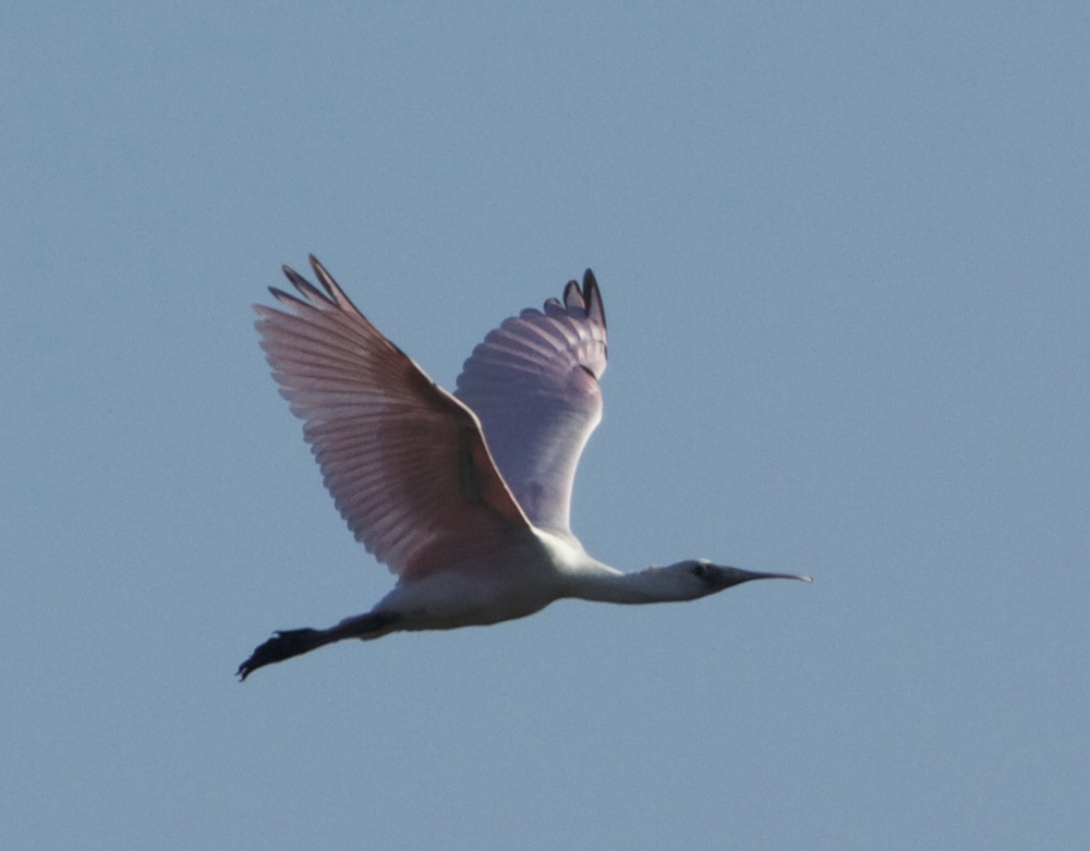 The Roseatte Spoonbills are back! Now it is officially Spring on the Broward!