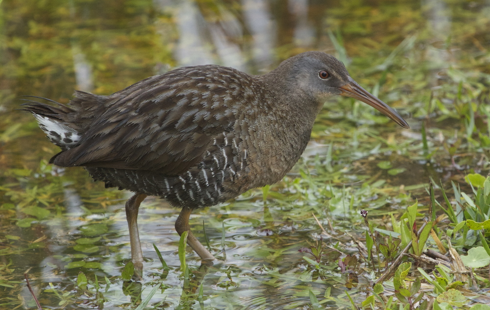 Clapper Rail enjoys the rains new harvest ground.