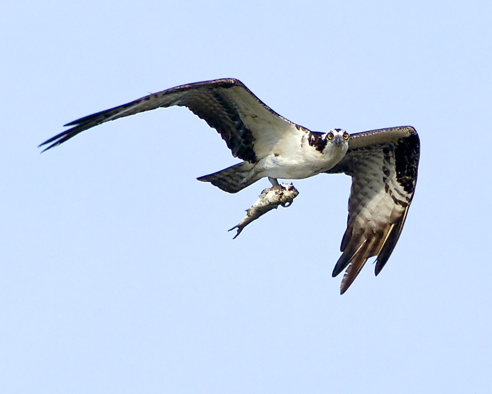 "Sushi anyone? Osprey with fresh snack. I get "" The Look ""!"