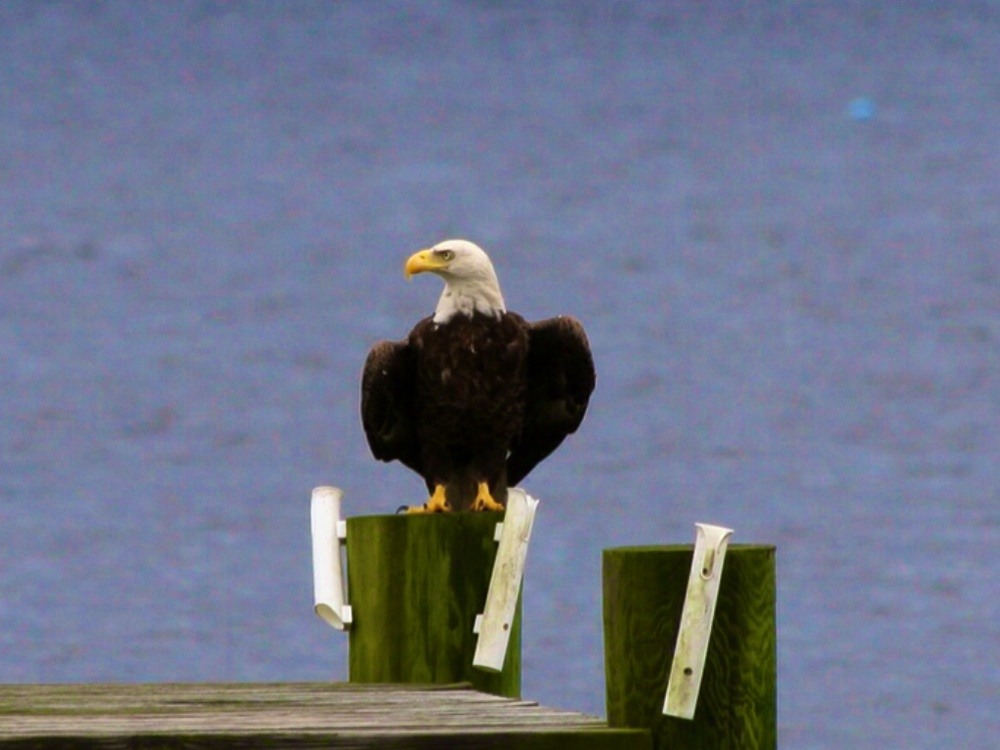 Regal Eagle on the Dock. Taken on the other side of the Broward. Photo courtesy of and by another Photo friend, Donna Yost-Williams with permission.