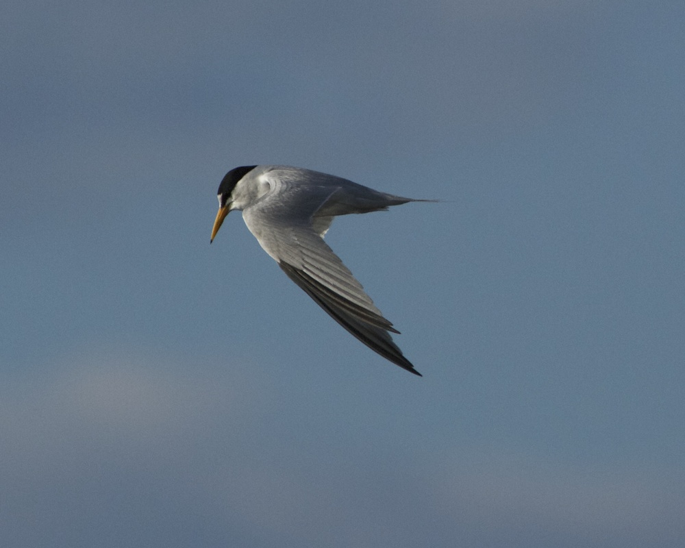 The small Least Tern is identified by the two black primary feathers on the wing.