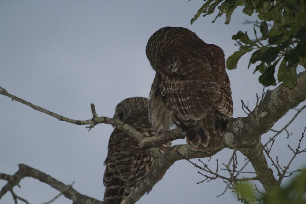 A pair of Barred Owls (Fuzzy and Wuzzy?) at dusk.