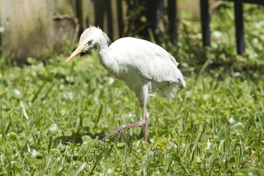 Small Cattle Egret in post breeding plumage walks up to me in our yard.