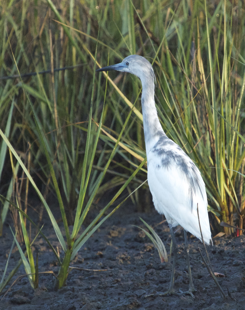 Juvenile Little Blue Heron, born all white at birth, it becomes spotted with blue and finally all blue with maroon head feathers.