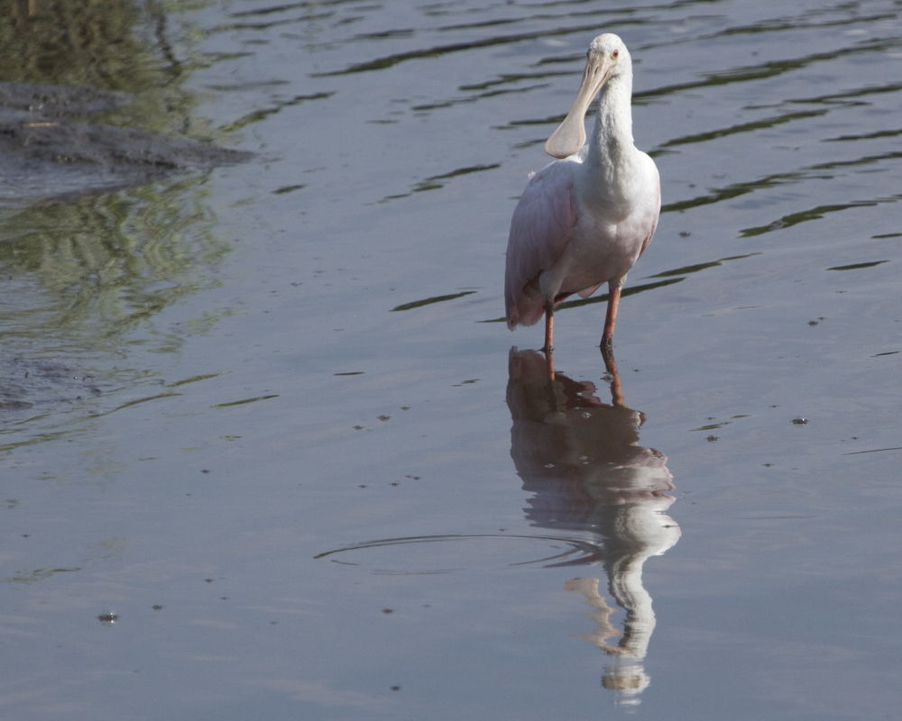 Young Roseate Spoonbill reflects on the Broward.