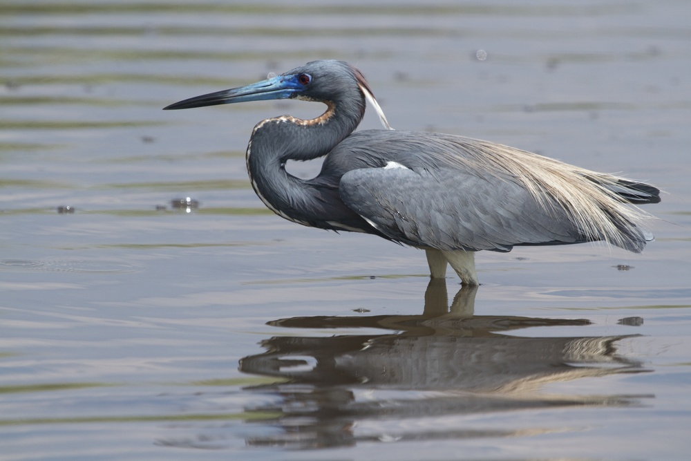 TriColored Heron in breeding colors watches and waits.