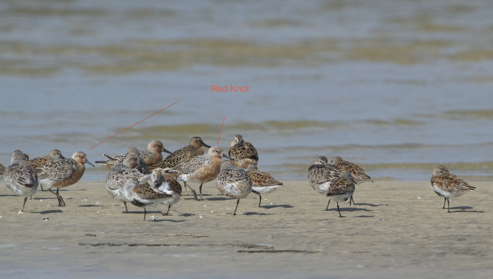 A large sandpiper called the Red Knot stops in Jacksonville enroute to arctic summer breeding grounds. This bird travels as much as 15,000 km (9,320 miles) one way twice a year.