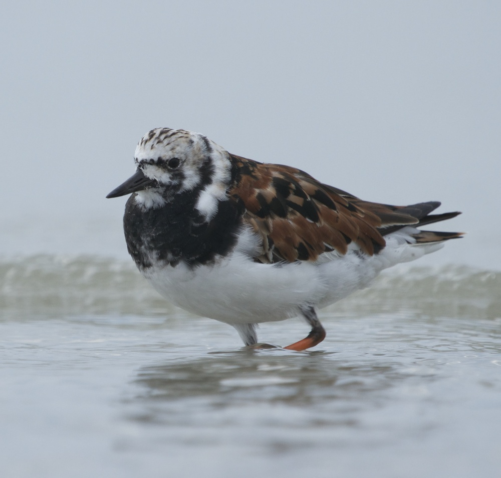 Another arctic bound traveler in breeding colors, the Ruddy Turnstone stops at Huguenot Park.