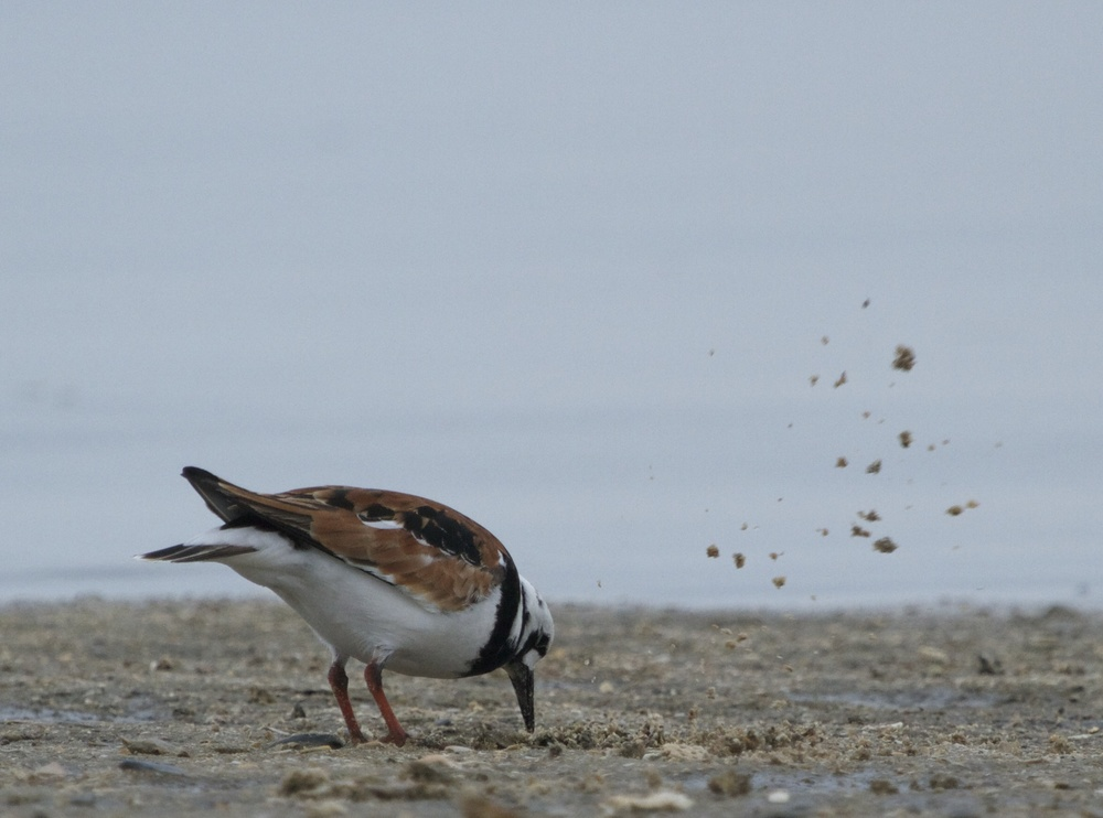 Ruddy Turnstone flips sand and debris looking for food.