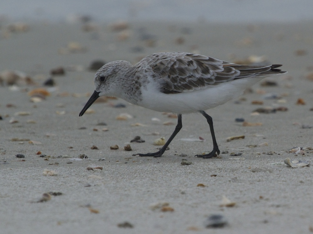 Sanderling scans the sand.