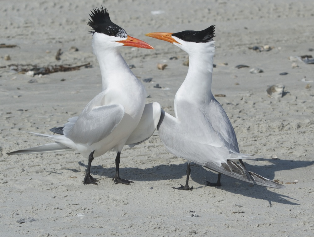 A pair of courting Royal Terns eye each other up! Wanna dance cutie?