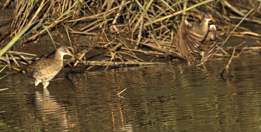 In the morning the Clapper Rail leaves its nest to feed on the island.
