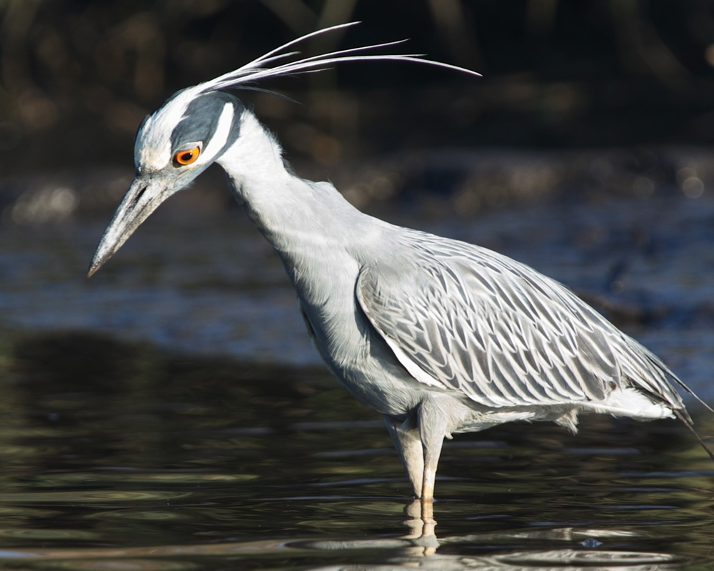 George, the Yellow Crowned Night Heron hunts for crabs.