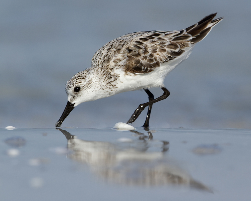 A Sanderling reflected in the sands.