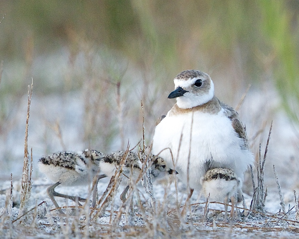Three young hatchlings of a Wilson's plover take cover under the mother's wings.