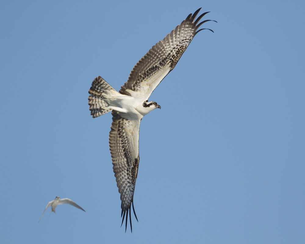 A Least Turn dive bombs a predator Osprey as it flies over the nesting grounds.