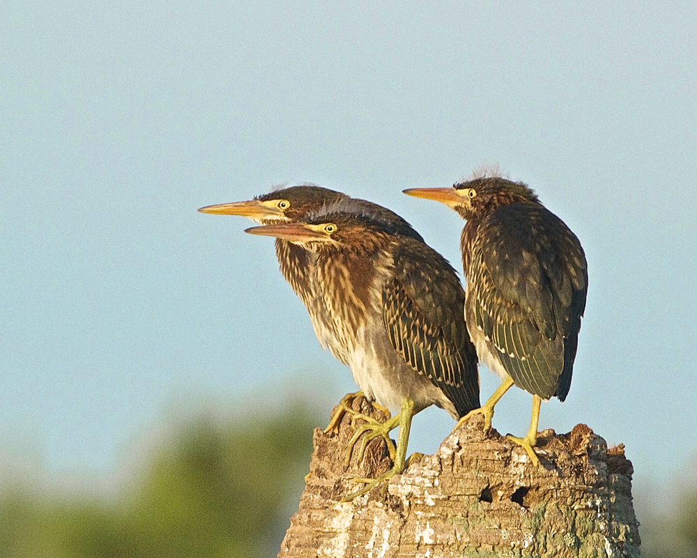 Three fledgling Green Herons ponder the new day.