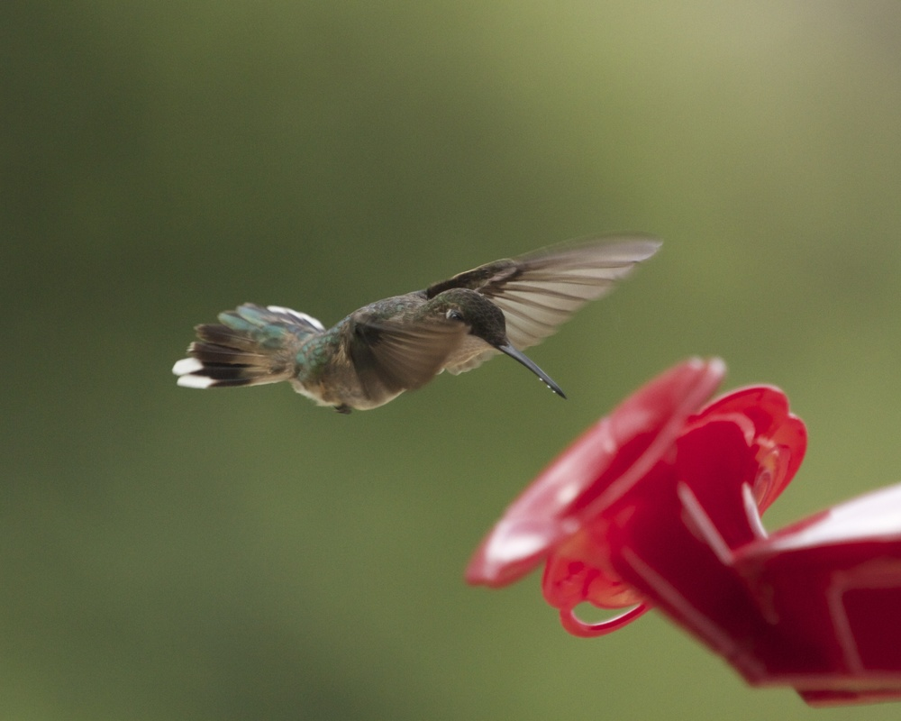 Dancing on air, the hummingbird approaches the feeder.