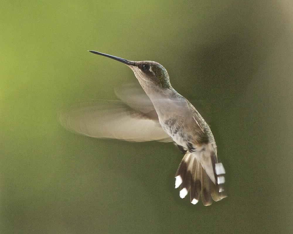 These tiny wings beat 53 times a second but are a blur with my camera shutter speed of 1/250th of a second.
