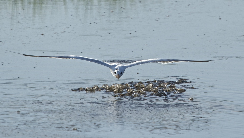 I glance up and see a Royal Tern swoop over a school of minnows.