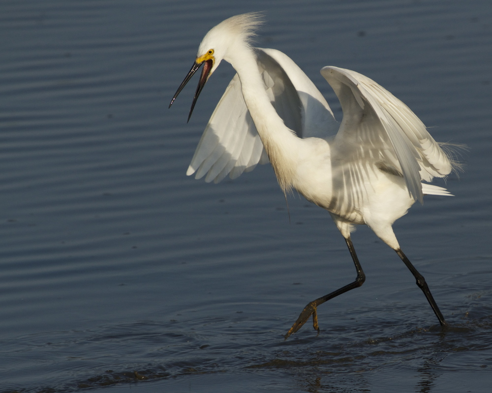 Oh! Oh! I see one too shouts the Snowy Egret!