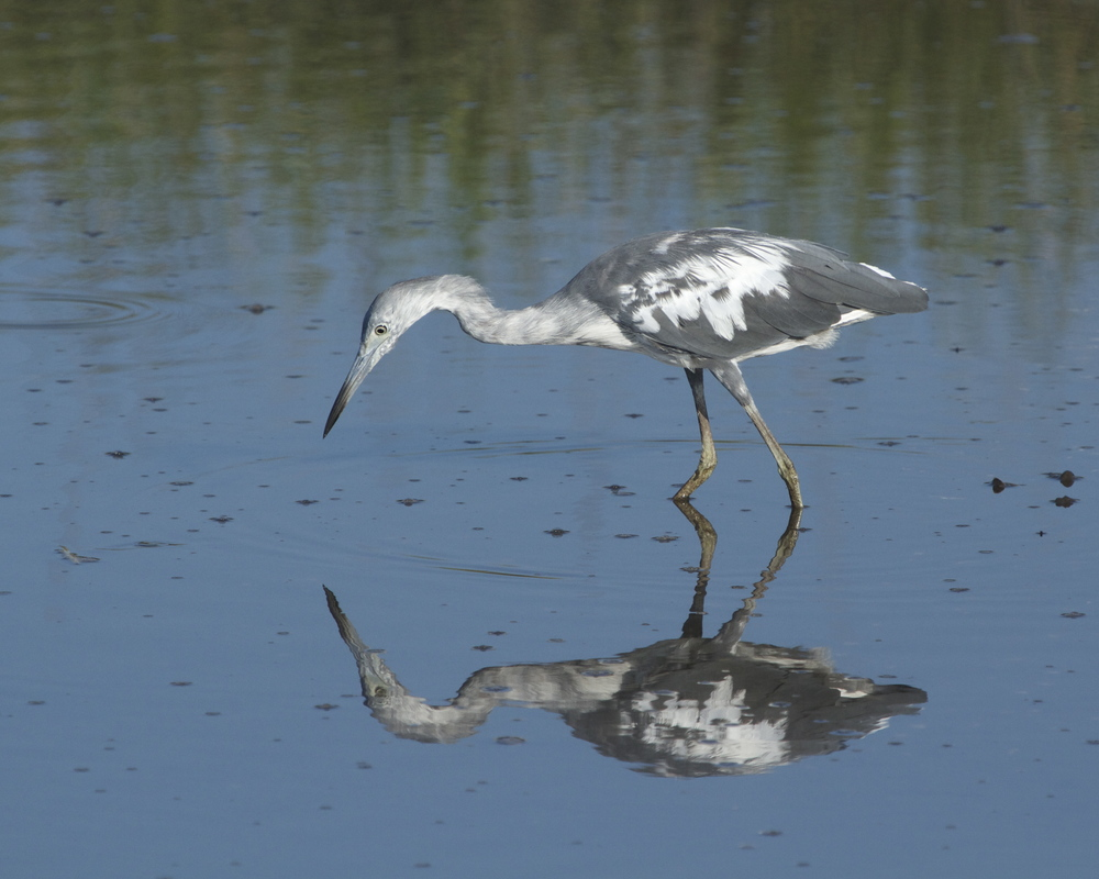 A juvenile Little Blue Heron patiently waits.