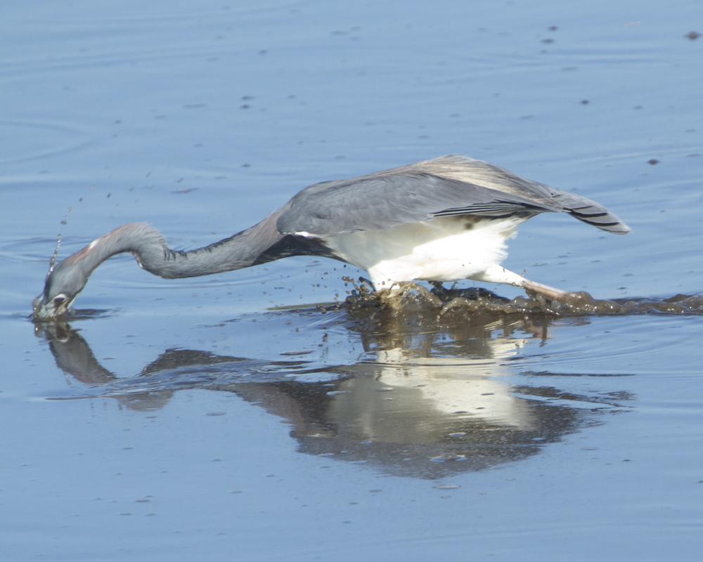 The Tri-Colored Heron gets one too!