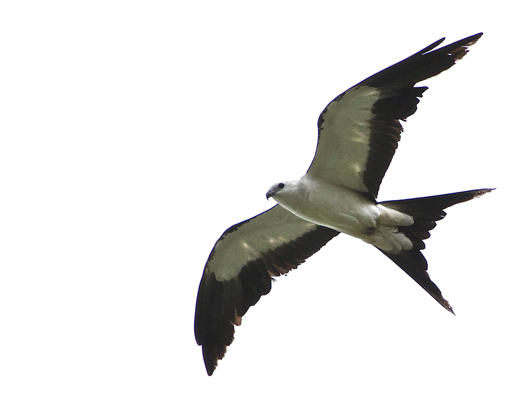 Swallow-Tailed Kite, a black and white raptor common to South America that breeds in Florida during the Apr-August timeframe.