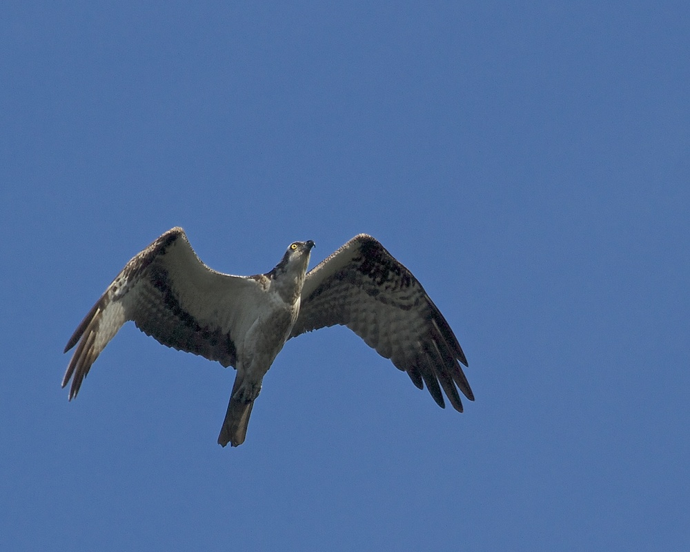 An Osprey soars overhead, its eye gleaming in the morning sun.
