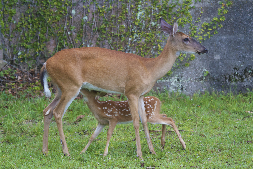 Whitetail deer and nursing fawn on grounds of Dungeness.
