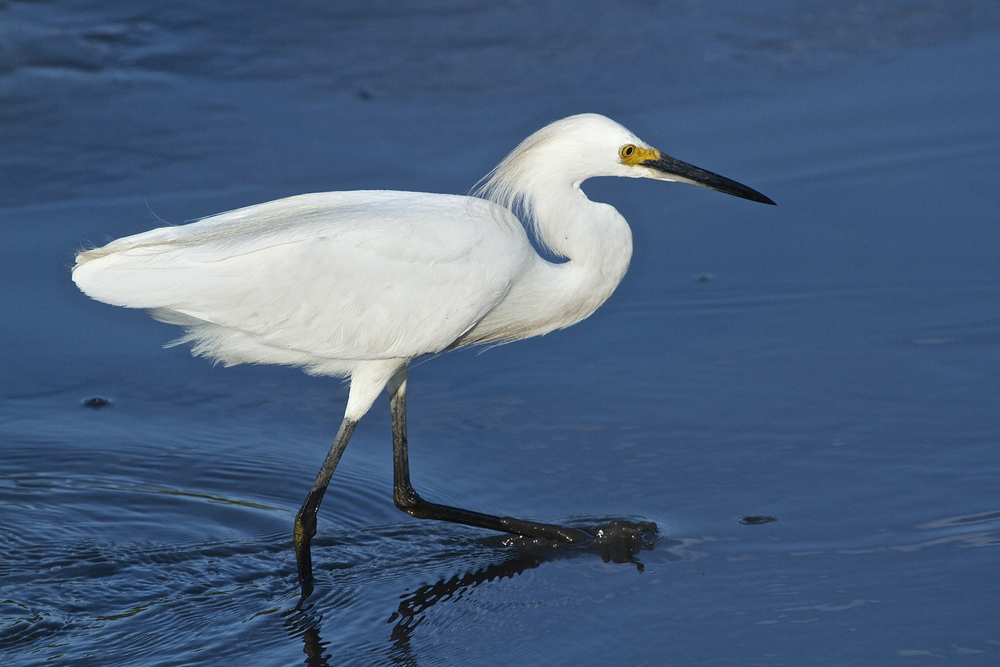 A Snowy Egret on the hunt.