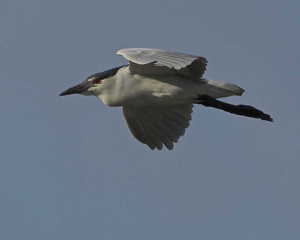Black Crowned Night Heron flying by.