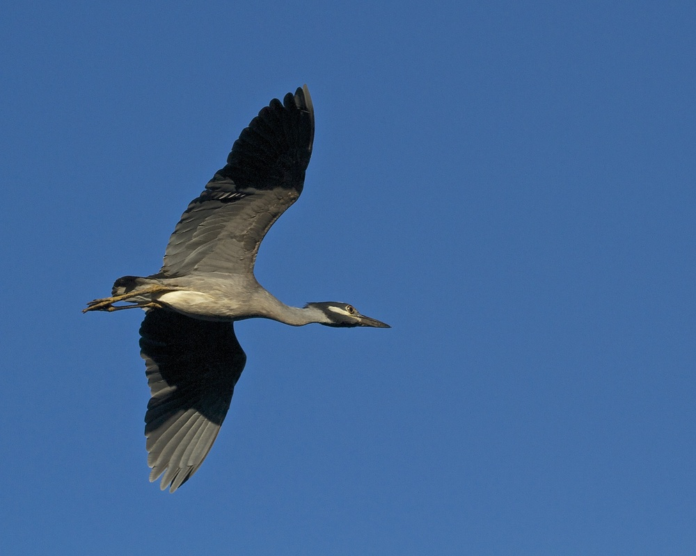 "As I walk up the dock I catch ""George"" the Yellow Crowned Night Heron coming in for a landing."