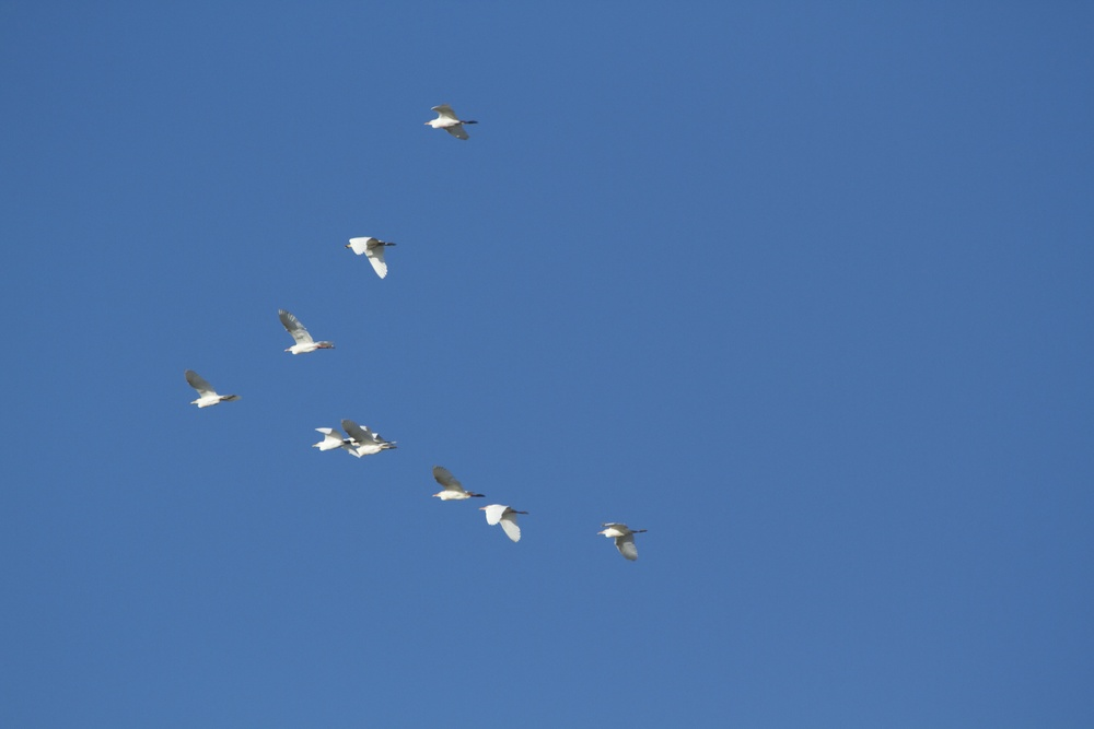 A Hedge (of Great Egrets) in a flying Wedge V-shaped formation! Their white feather gleam in contract to the summer blue morning sky.