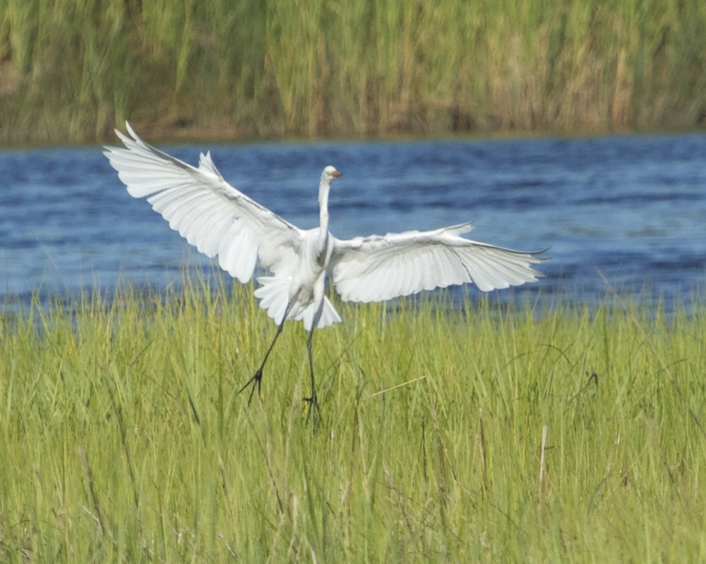 Great Egret makes a more Graceful landing approach!