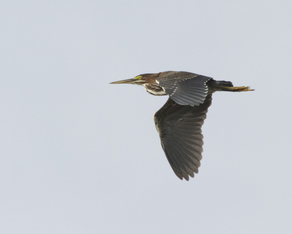 Green Heron fly by.    Hope to see more of these later!