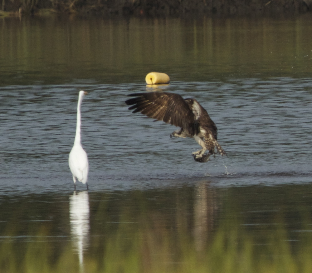 Now this is a fresh catch of the day Osprey Style.  The Egret wishes it could have a bite.