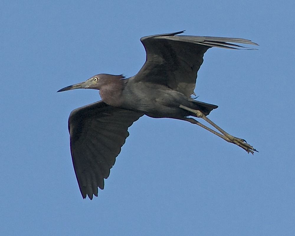 "Floating on a Summer Breeze, the Little Blue Heron wings by on a sky blue morning!  ""Summer Breeze, makes me feel fine, blowing like the jasmine in my mind!"""