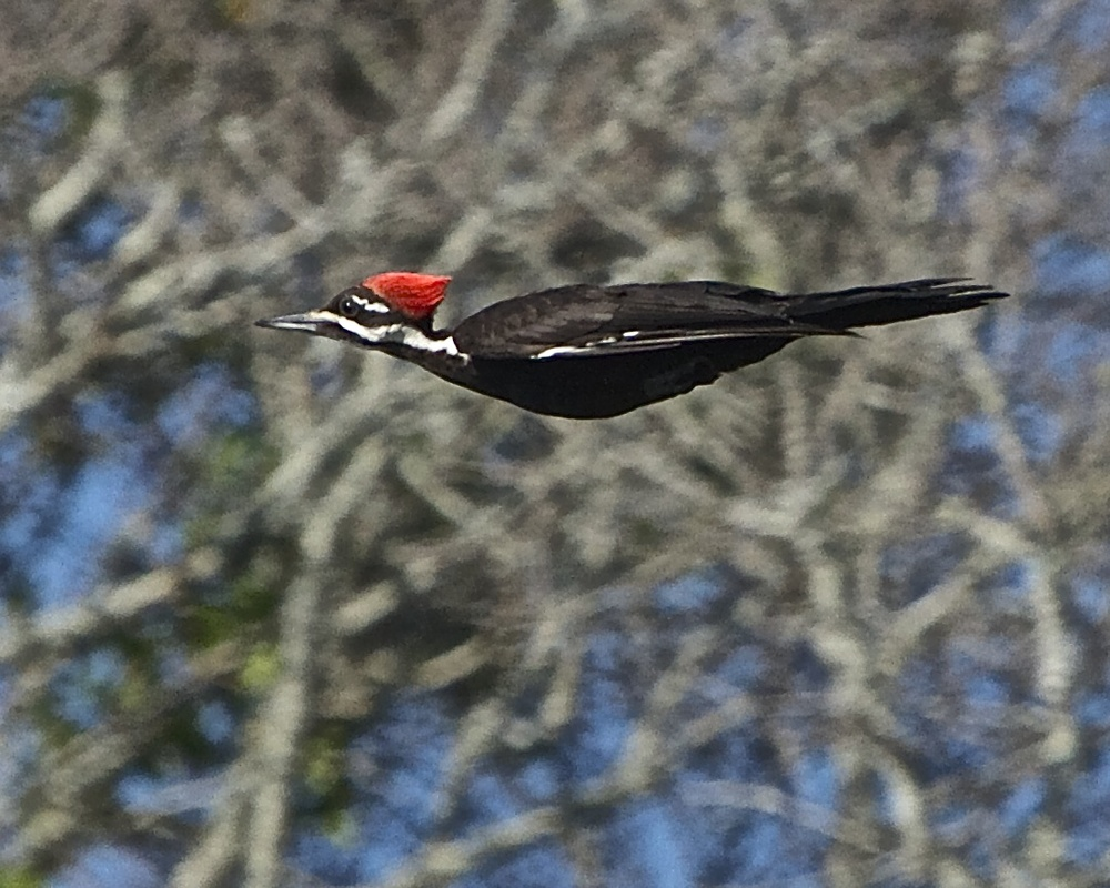 Pileated Woodpecker streaks across the sky l  ike a Rocket-man!   Hmmm..so will we someday!