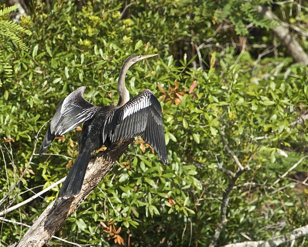 Classic Anhinga pose on a hot dog day in August.