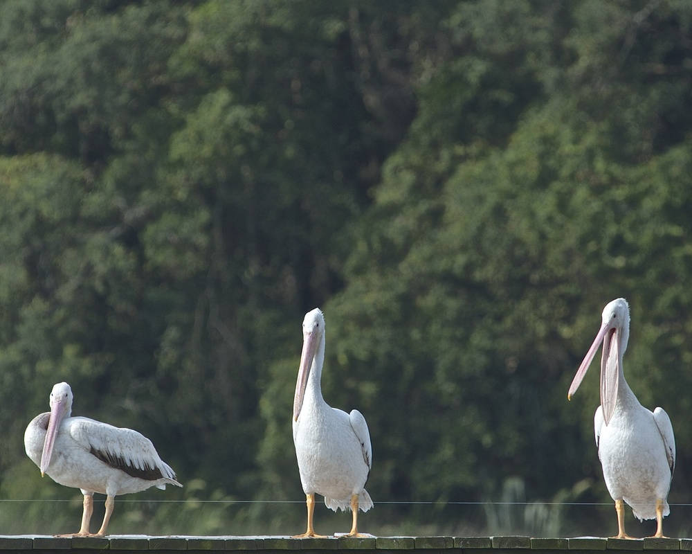 Three White Pelicans, Larry, Curly and Moe!