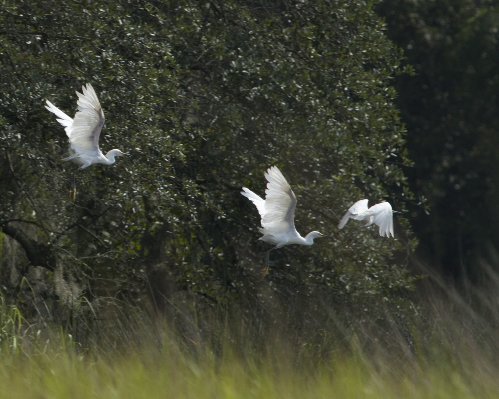 I have been spotted, the Egrets take off!