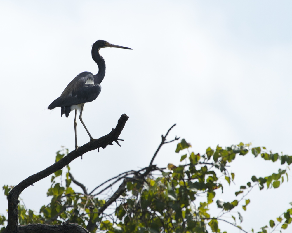 Then the Herons begin to jump ship (or tree).