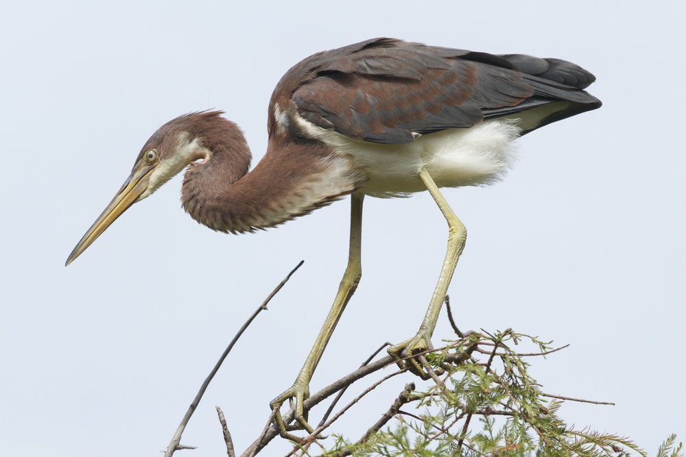 A juvenile Tricolored Heron, the brown neck will turn more blue grey when mature as will the wing feathers.