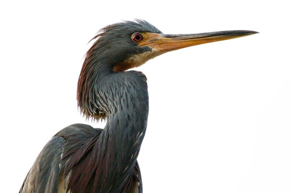 Mature Tricolored Heron on the boat launch piling, Often allows me to approach for photo ops.
