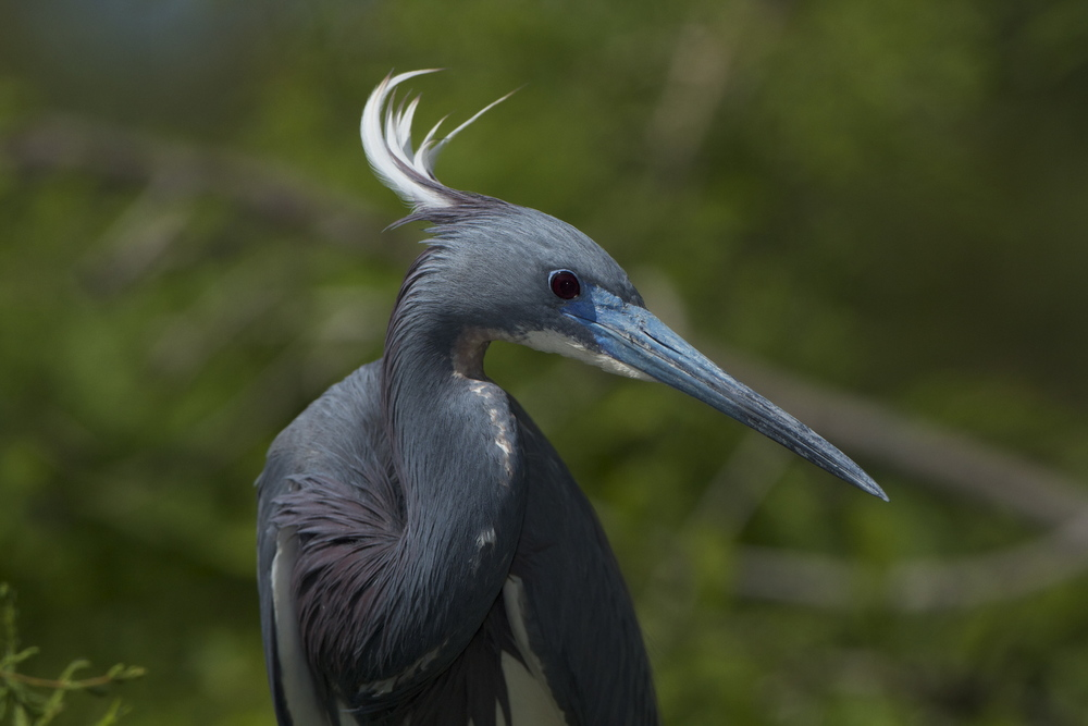 Tricolored Heron in breeding colors, bright blue beak and white head plume.